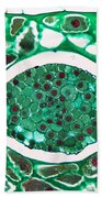 Lily Seed Embryo, Lm Beach Towel