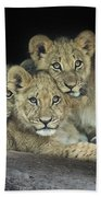 Three Lion Cubs Beach Towel