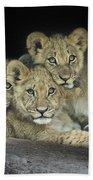Three Lion Cubs Beach Towel