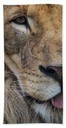 Lion Portrait Panting Beach Towel