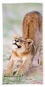 Lioness Panthera Leo Stretching Beach Towel