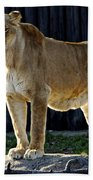 Lioness Beach Towel by Frozen in Time Fine Art Photography