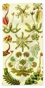 Liverworts Moss Brunnenlebermoos Haeckel Hepaticae Beach Towel