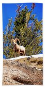 Majestic Big Horn Sheep Beach Towel