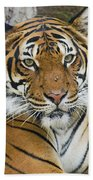 Malayan Tiger Beach Towel