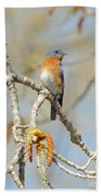 Male Bluebird In Budding Tree Beach Towel