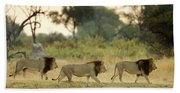 Male Lions At Dawn, Moremi Game Beach Sheet