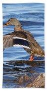 Mallard Duck Showing Off Beach Towel