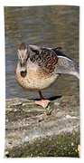 Mallard Duck Stretch  Beach Towel