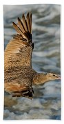 Marbled Godwit Flying Over Surf Beach Towel