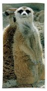 Meerkats Suricata Suricatta Beach Towel
