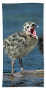 Mew Gull Three Chicks Beach Towel by Tom Vezo