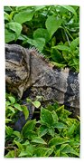 Mexican Spinytailed Iguana  Beach Towel