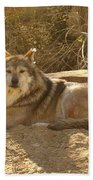 Mexican Wolf Close Up Beach Towel