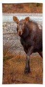 Moose Calf Beach Towel