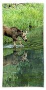 Moose Calf Testing The Water Beach Towel