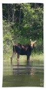 New Hampshire Grazing Cow Moose  Beach Towel