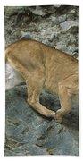 Mountain Lion Crossing Rocky Terrain Beach Towel