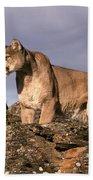 Mountain Lions Felis Concolor Beach Towel