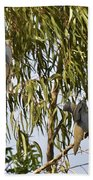 Mourning Doves Landing In Eucalyptus  Beach Towel