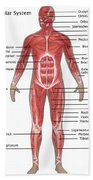 Muscular System In Male Anatomy Beach Towel