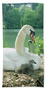 Mute Swan Parent And Chicks On Nest Beach Towel by Konrad Wothe