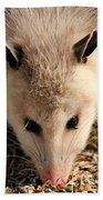 North American Opossum In Winter Beach Towel