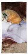 Northern Moon Snail Beach Sheet