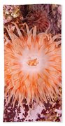 Northern Red Anemone Beach Towel