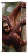 Orangutan Hanging On Tree Beach Towel
