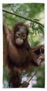 Orangutan Infant Hanging Borneo Beach Towel by Konrad Wothe
