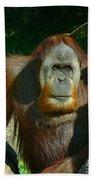 Orangutan Scratches With Stick Beach Towel