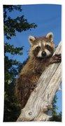 Orphaned Raccoon Beach Towel