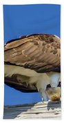 Osprey Eating Lunch Beach Towel