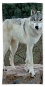 Out Of Africa Wolf  Beach Towel