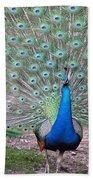 Peacock On Display Beach Towel