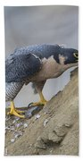 Peregrine Cleaning Beak Beach Towel