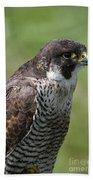 Peregrine Falcon 1 Beach Towel