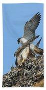 Peregrine Falcons - 5 Beach Towel