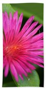 Pink Flower Of Succulent Carpet Weed  Beach Towel