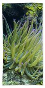 Pink Tipped Giant Sea Anemone Beach Towel