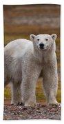 Polar Bear, Spitsbergen Island Beach Towel