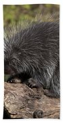 Porcupine Looking For Food Beach Towel