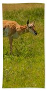 Portrait Of A Young Pronghorn Beach Towel