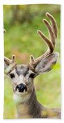 Portrait Of Mule Deer Buck With Velvet Antler  Beach Towel