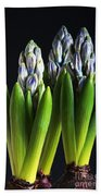 Purple Hyacinth Ready For Spring. Beach Towel