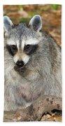 Raccoon Procyon Lotor Adult Foraging Beach Towel