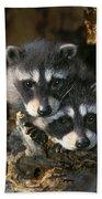 Raccoon Young Procyon Lotor In Tree Beach Towel