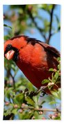 Red Cardinal In Springtime Beach Towel