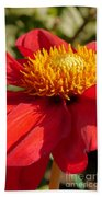 Red Dahlia Coccinea Beach Towel